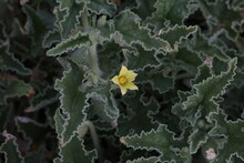 Green Thorny Plant With Small Yellow Flowers
