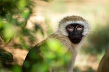 A Green Monkey Sits On A Tree. Kenya