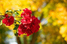 Red Flower And Yellow Tree. Red Flowers Still In Bloom With A Yellow Tree On The Background During A Sunny Autumn Season.