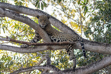 Jaguar On The Tree