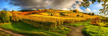 Panoramic Vineyard Landscape In Autumn, With Gold Grapevines On A Hill, Illuminated By The Beautiful Late Afternoon Sunlight, With Blue Sky, Dark Clouds And Green Grass