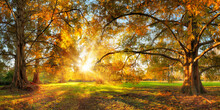 Beautiful Large Trees With Colorful Leaves In A Park In Autumn, With The Sun Shining Through The Foliage Into The Camera
