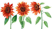 Sunflowers, Set Of Red Flowers On An Isolated White Background, Watercolor Botanical Illustration, Elements For Design