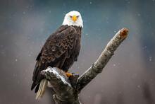 Eagle Portrait 4