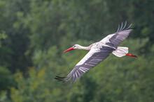White Stork (Ciconia Ciconia) Sailing Over Meadows