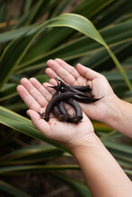 Close Up Of Woman's Hands Holding New Zealand Flax Seed Pods, Phormium Tenax
