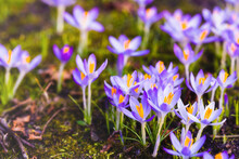 Close-up Of Blooming Purple Crocus Flowers. Park. Europe. Early Spring. Symbol Of Peace, Joy, Purity, Easter. Landscaping, Gardening, Ecotourism, Environment. Art, Macrophotography, Bokeh, Background