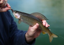 Fly Fisherman Holding Arctic Grayling (Thymallus Arcticus) In Beartooth Mountains, Montana