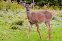 White-tailed Deer In Meadow