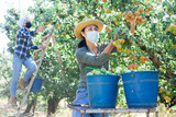 Young asian woman farmer in protective face mask harvesting ripe pears from tree in fruit garden