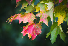 Colourful Autumn Maple Leaves Closeup - Natural Background