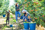 Young attractive female gardener in face mask harvesting ripe pears from tree in fruit garden