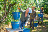 Asian female farmer engaged in picking of pears in orchard, laying harvested fruits in buckets