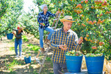 Young american male farmer engaged in picking of pears in orchard, laying harvested fruits in buckets