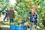 Young female farmer gathering harvest of ripe pears at garden. Harvesting season, farm workers picking fruits