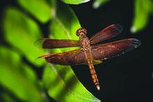 Close Up Flame Skimmer - Dragonfly On Leaf
