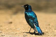 Oiseau Du Kenya Choucador Superbe - Lamprotornis Superbus Aux Couleurs Vives Au Masaï Mara Afrique