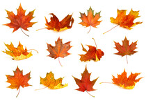 Autumn Leaves Isolate Background. Red And Yellow Maple Leaves In Autumn On A Blank White Background.