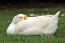 White Duck Seating On Green Grass Beak In Feather With Green Background