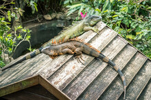 Lizard Resting On The Tiny Wood House