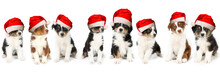 Dog Christmas Card With Group Puppies Australian Shepherd With Santa Hat  Isolated On White