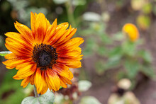 Decorative Sunflower Close Up, Yellow And Orange Colours With The Green Background