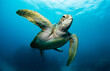 Swimming sea turtle in the ocean, photo taken under water at the Great Barrier Reef, Cairns, Queensland Australia