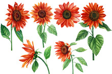 Sunflowers, Set Of Red Flowers On An Isolated White Background, Watercolor Illustration, Elements For Design