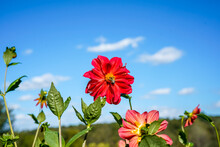 Red Dahlia Flower Stands Tall Against The Beautiful Blue Sky. Bumblebee Is At The Center Of The Flower.