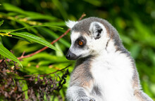 Close Up Of A Ring-tailed Lemur  With A Dense Green Leaf Background.