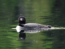 Close Up Of A Common Loon Bird Swimming On A Calm Lake In Canada.