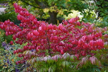 Euonymus Alatus, Known Variously As Winged Spindle, Winged Euonymus Or Burning Bush, Is A Species Of Flowering Plant In The Family Celastraceae.