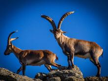 Cabras Montesas Sobre Rocas De Granito