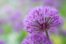 Blooming Violet Onion Plant In Garden. Flower Decorative Onion. Close-up Of Violet Onions Flowers On Summer Field.. Violet Allium Flower Allium Giganteum. Beautiful Blossoming Onions. Garlic Flowers