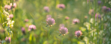 Wild Pink Clover (Trifolium Pratense) In Green Grass Field. Soft Focus. Clover Flowers Field In Sunset. Spring Or Summer Nature Background With Green Grass And Wildflowers