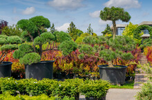 A Bright Sunny Day. Ornamental Outdoor Plants In Tubs Are Sold In The Nursery. Bushes And Trees, Garden And Park Decorations. Green Natural Background For The Album, Website, Social Networks.