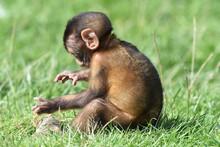 Berberaffenbaby, Tierkind