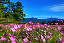 Beautiful Scenery Of Cosmos Bipinnatus(Garden Cosmos,Mexican Aster) Flowers And Mountains,many Pink Flowers Blooming In The Field At Sunny Summer