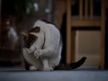 Preening Tabby Cat