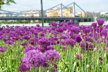 Flowering Decorative Onion Allium  In The Muzeon Culture And Recreation Park