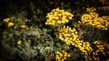 Helichrysum Italicum (Elicriso Italiano)