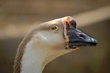 Swan Goose Profile Close Up