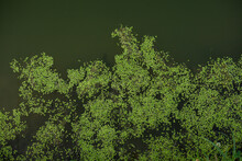 Top View Of Duckweed Grass On The Shore Of The Pond. Green Grass On The Water Textured Background