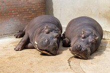 Two Huge Hippos Sleep On The Concrete Floor Of The Aviary