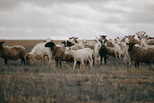 A Flock Of Sheep And Goats On A Pasture In A Field