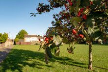 Shallow Focus Of Red Berries Seen On A Small Tree In A Recreation Area And Lawn In A Housing Estate In East Anglia.
