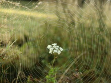 Dewy Spider Web Among A Flower On The Grass