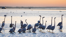 Flamingos On The Water At Sunset