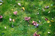 Mushrooms And Autumn Yellow Leaves On A Green Lawn. Beautiful Autumn Background. Selective Focus