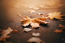 Fallen Red Maple Leaves Lie On The Asphalt, Illuminated By Sunlight On A Warm October Day. Season.